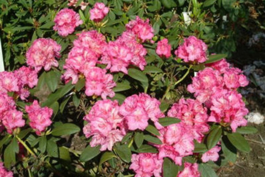 Rhododendron 'Diana van Herzeele'