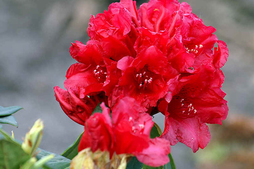 Rhododendron 'Michael Waterer'