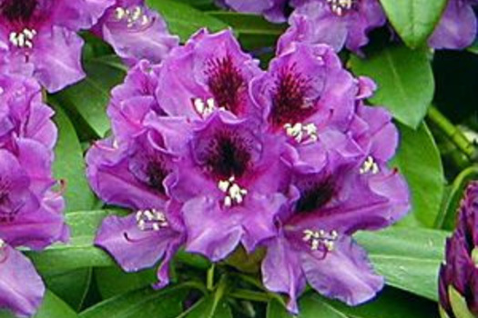 Rhododendron 'Purple Splendor'