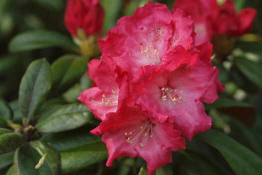 Rhododendron 'Rendezvous'