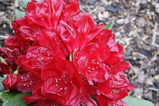 Rhododendron 'Tarantella'