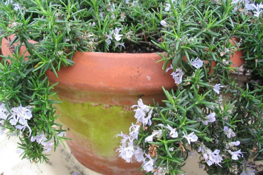 Rosmarinus officinalis 'Capri'
