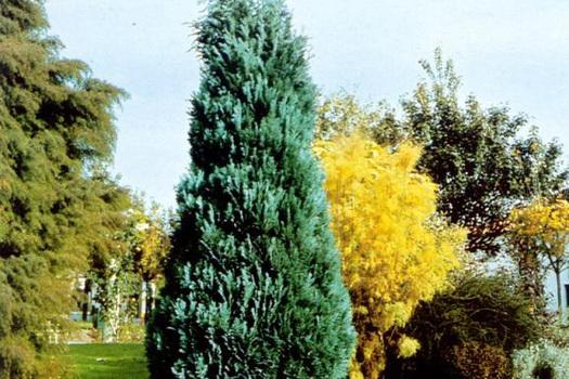 Chamaecyparis lawsoniana 'Columnaris'