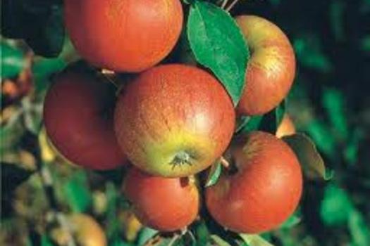 Malus domestica 'Cox's Orange Pippin'