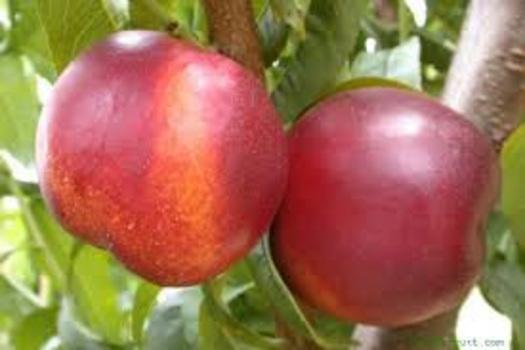 Prunus persica 'Nectarine Dwarf'