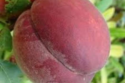 Prunus persica 'Reine des Vergers'