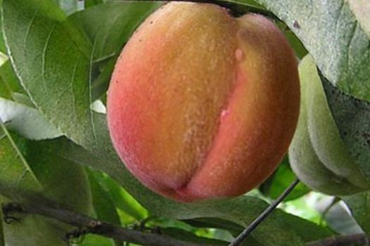 Prunus persica 'Vaes Oogst'