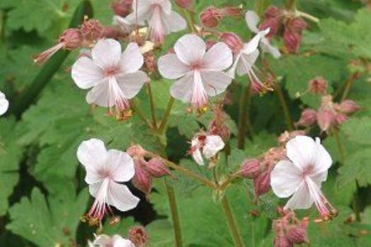 Geranium macrorrhizum 'Ingwersen's Variety'