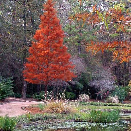 Hoger groeiende coniferen