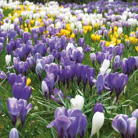 Voorjaarsbloeiende bloembollen
