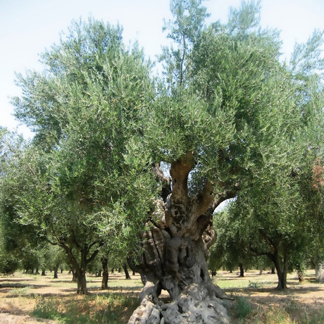 Mediterrane bomen