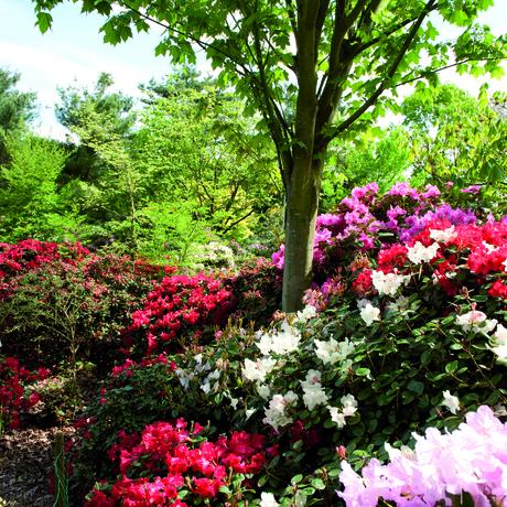 Rododendrons & azalea's