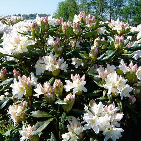 Hogere rododendrons
