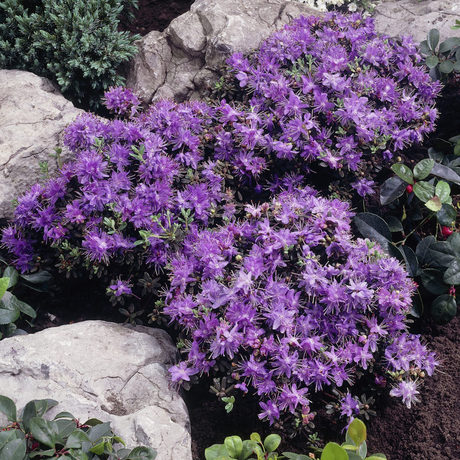 Dwerg rododendrons