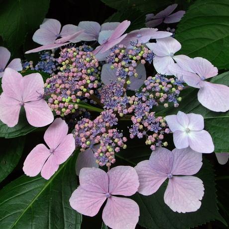 Schermvormige hortensia's