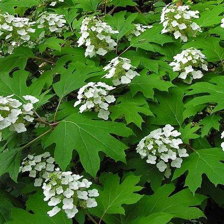 Eikenbladhortensia's