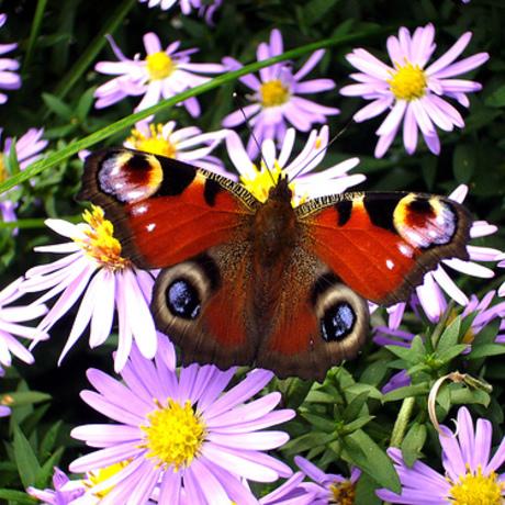 Vaste planten die vlinders en bijen helpen