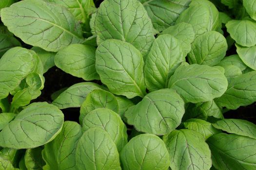 Brassica 'Amsoi' *