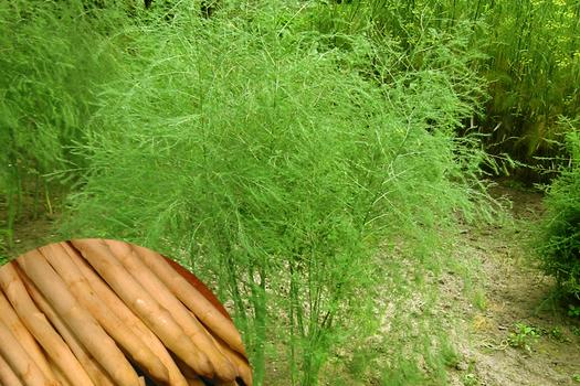 Asparagus officinalis 'Argenteuil' *