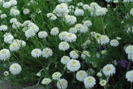 Chamaemelum nobile 'Flore Pleno' *