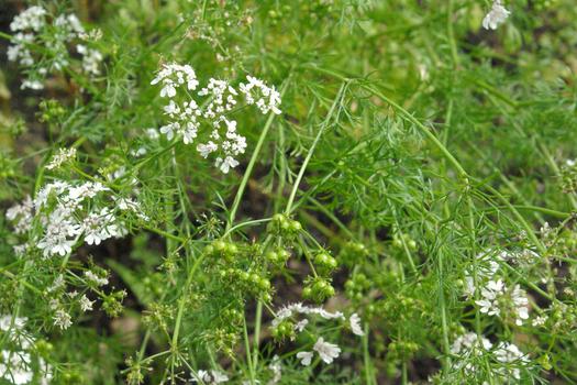 Coriandrum sativum *