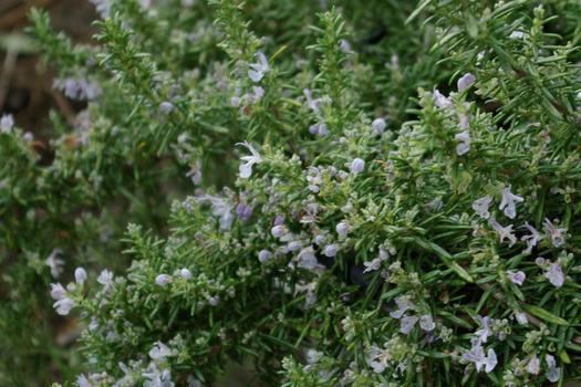 Rosmarinus officinalis prostrantera repens *