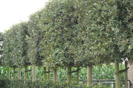 Quercus ilex 'Leivorm