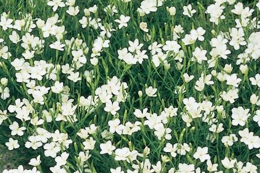 Dianthus deltoides 'Albiflorus'