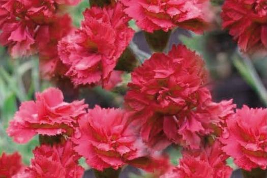 Dianthus 'Heidi'