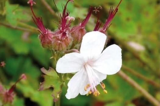 Geranium cantabrigiense 'St Ola'