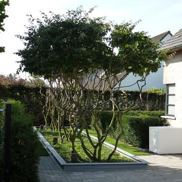 Meerstammige Bomen In De Voortuin Belleplant