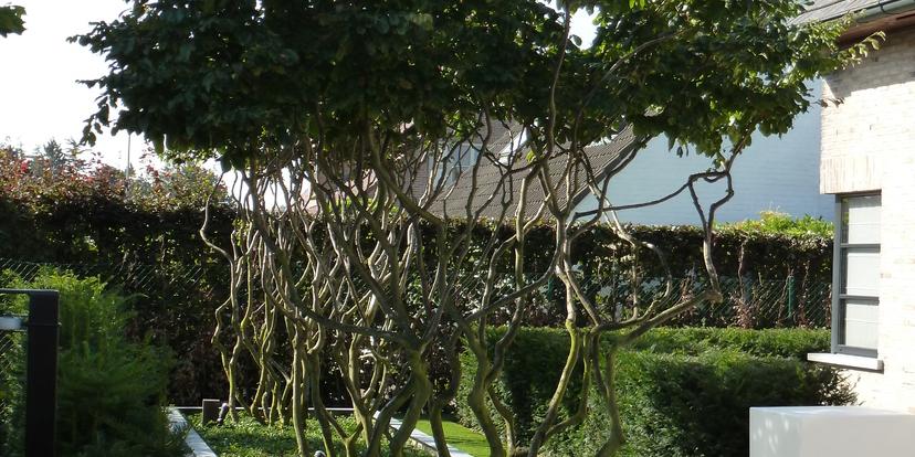 Een meerstammige boom, een kunstwerk in jouw tuin.