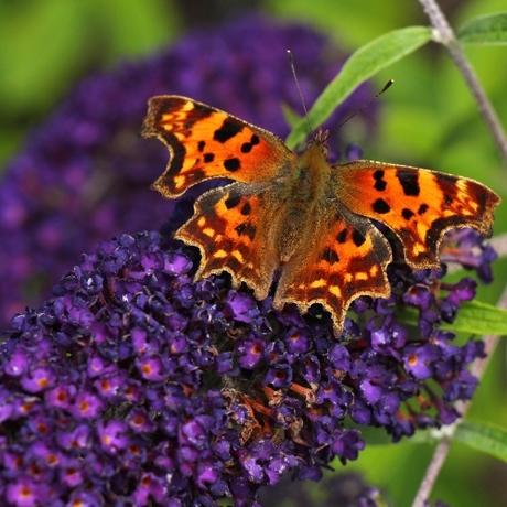 Heesters die vlinders en bijen helpen