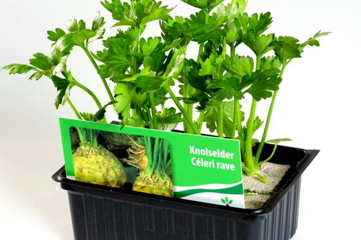 Apium graveolens rapaceum
