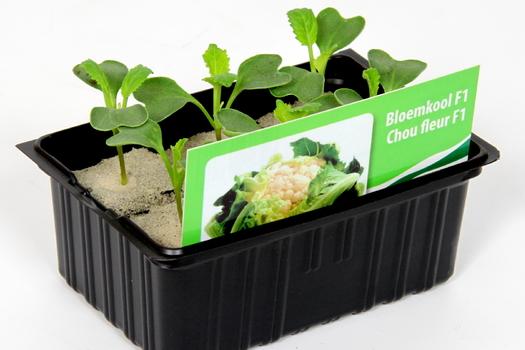 Brassica oleracea 'Botrytis'