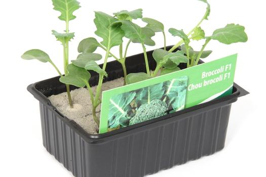 Brassica oleracea 'Italica'