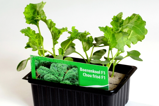 Brassica oleracea 'Acephala'