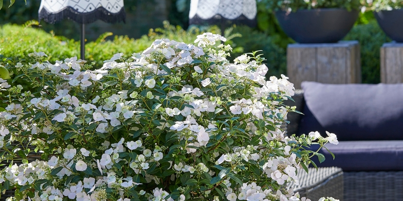 'Gouwe ouwe' en 'Blitse nieuwe' hortensia's
