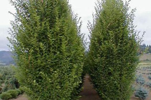Carpinus betulus 'Fastigiata'