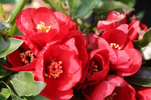 Chaenomeles superba 'Crimson and Gold'